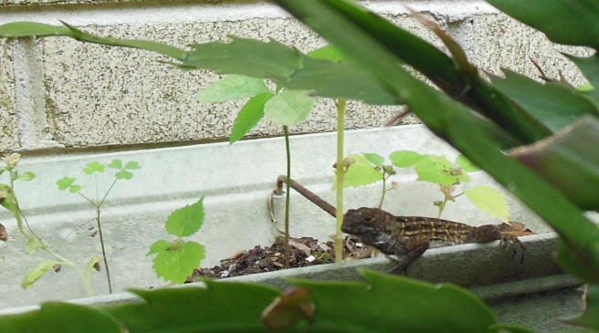 Brown anole3