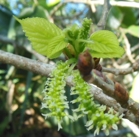 Leafing mulberry