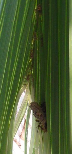 Palm Wasp3