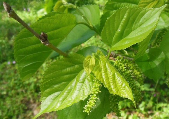 Mulberry Leafing