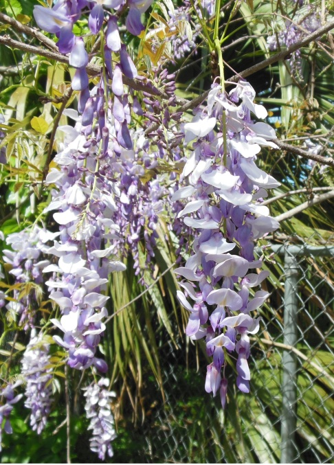 Wisteria verticality