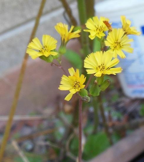 Tiny Yellow2