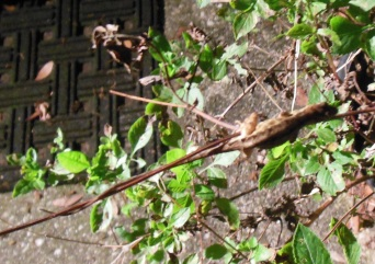 Brown anole2