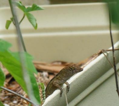 Lizard Peek2